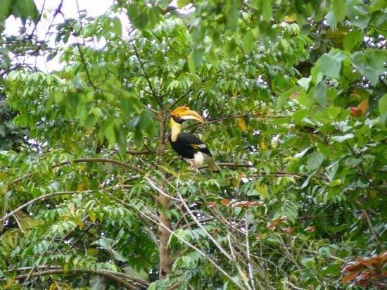 un toucan dans la jungle du lac Ratchaprapa dans le parc national de Khao sok