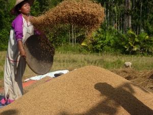 la recolte du riz en novembre-decembre